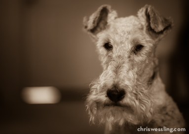 top breed wire fox terrier