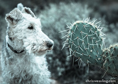 poisoness cactus dogs