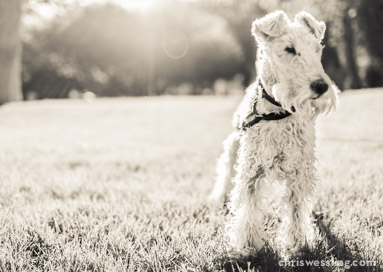 purebred wire fox terrier